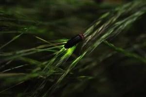 蛍(ホタル) CC by SA 2.0 @yb_woodstock さん http://www.flickr.com/photos/yellow_bird_woodstock/