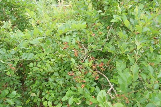 ブルーベリーの木とその実