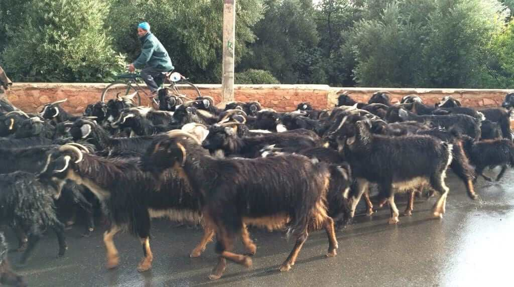 Goats on Moroccan Road