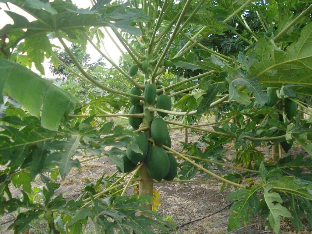 ecuador plantation