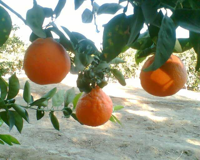 nazca orange plantation