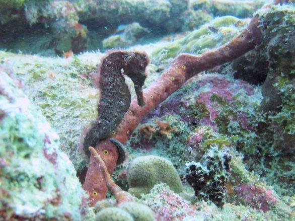 Longsnout seahorse (Hippocampus reidi), Salt Pier, Bonaire.