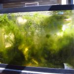 10 gallon tank full of Derbesia and Bryopsis, sitting in the sunlight.