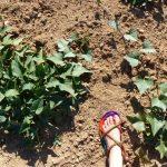 31.07.: Die Süßkartoffel bekommt lange Ausläufer, ihre Nachbarin ist schon weitaus größer