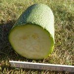 In einer großen ausgereiften Zucchini, lassen sich die Samen erkennen.