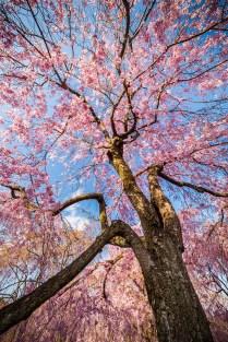 Kyoto,Cerisiers-Kiyomizu-dera ( Soleil Levant 75 )