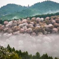 Nara, la forêt du mont Yoshino et ses 30 000 cerisiers..