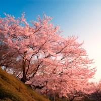 Calendrier prévisionnel 2020 de floraisons des sakura au Japon.