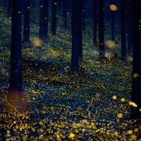 Les lucioles, une féerie des nuits d'été japonaises.