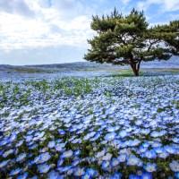 Ibaraki, némophiles en fleurs.