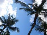 Hawaiin Palm Trees
