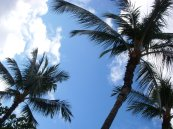 Hawaiin Palm Trees