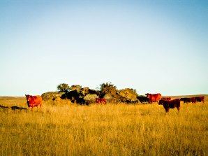 Red Angus 3