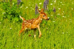 19669092 - white tailed deer fawn with spots in a field of wildflowers