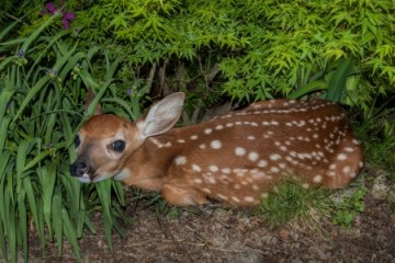 20329850 - a white-tailed fawn hiding in bushes