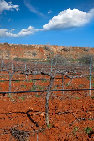 25570154 - winter leafless vineyard field in utiel requena of valencia spain