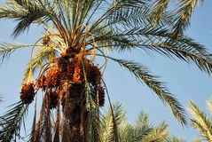 clusters-dates-palm-tree-29073446