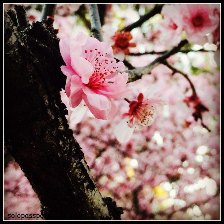 Cherry Blossom - Sydney