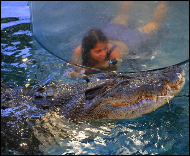 Cage diving with the salt water crocodile