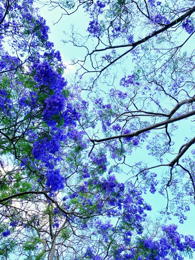 Best places to find Jacarandas in Sydney