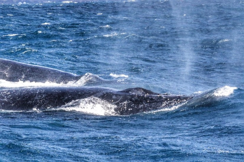 Whale watching Sydney 2019