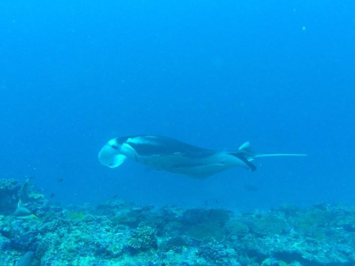 Manta Ray | Maldives