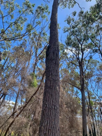 Goanna at the campsite - Complete guide to Light to Light walk