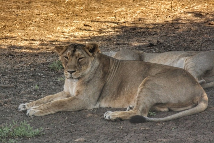 Lions at Gir, Gujarat