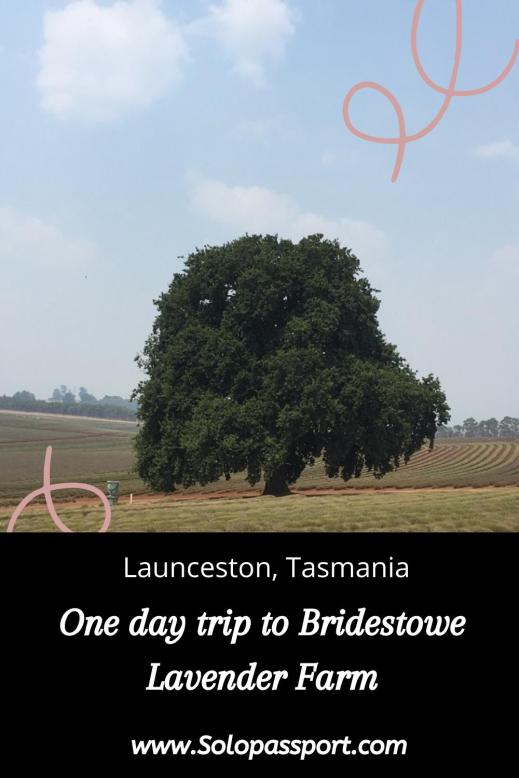 PIN for later reference - One day trip to Bridestowe Lavender Farm from Launceston