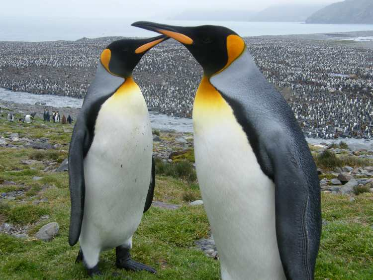 Look carefully for the thousands of penguins behind these two. A trip to Antarctica would be amazing. Photo provided by Quark Expeditions.