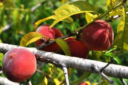 U-Pick Peaches, English Lake Farm, Fort Ogden, Florida
