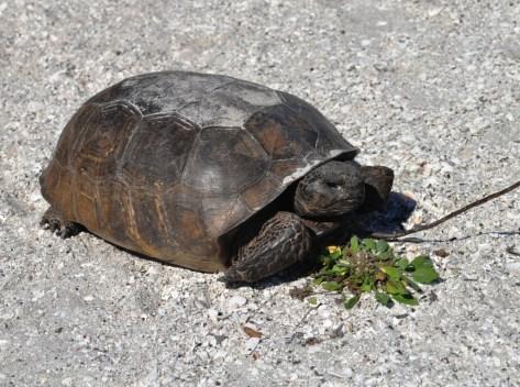 Gopher Tortoise on Don Pedro Island State Park, Fla.