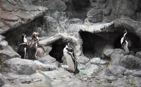 Penguins Chilling at Aquarium of Niagara, Niagara Falls, N.Y.