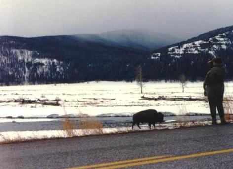 Mom Watches a Bison in Yellowstone National Park, April 1994