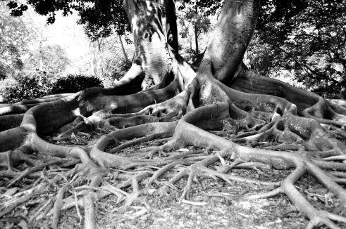 Moreton Bay Fig, Marie Selby Botanical Gardens, Sarasota, Fla.
