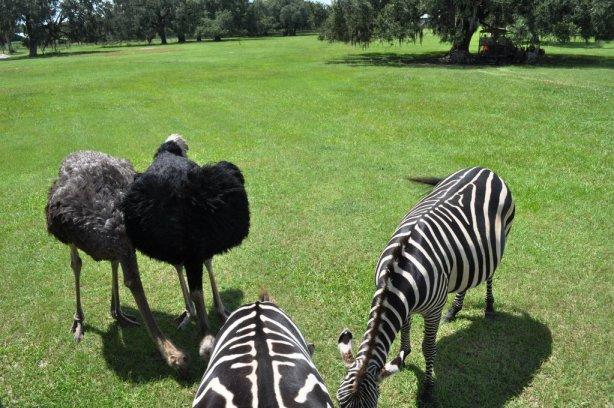 Emu, Ostrich and Zebras - Oh, My! Giraffe Ranch Farm, Dade City, Fla.