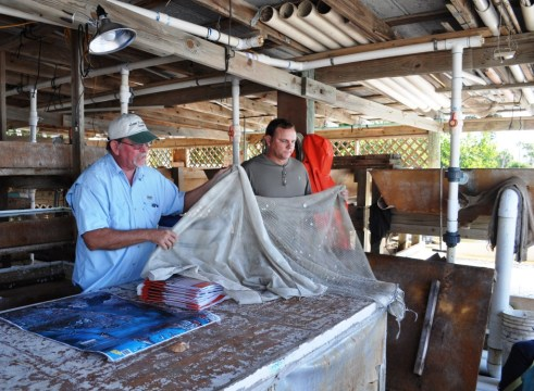 Once Large Enough, Clams are Placed in Mesh Bags then Secured in Charlotte Harbor, Fla.