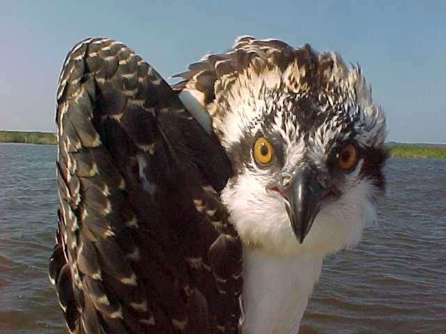 An osprey gives a fierce stare at Back Bay National Wildlife Refuge, VA. (Katherine Whittemore/USFWS)