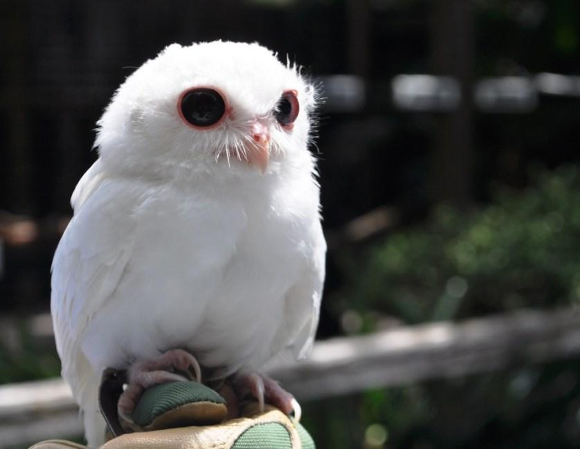 Meet Luna, a Male Leucistic Screech Owl at Peace River Wildlife Center, Punta Gorda, Fla., July 16, 2013