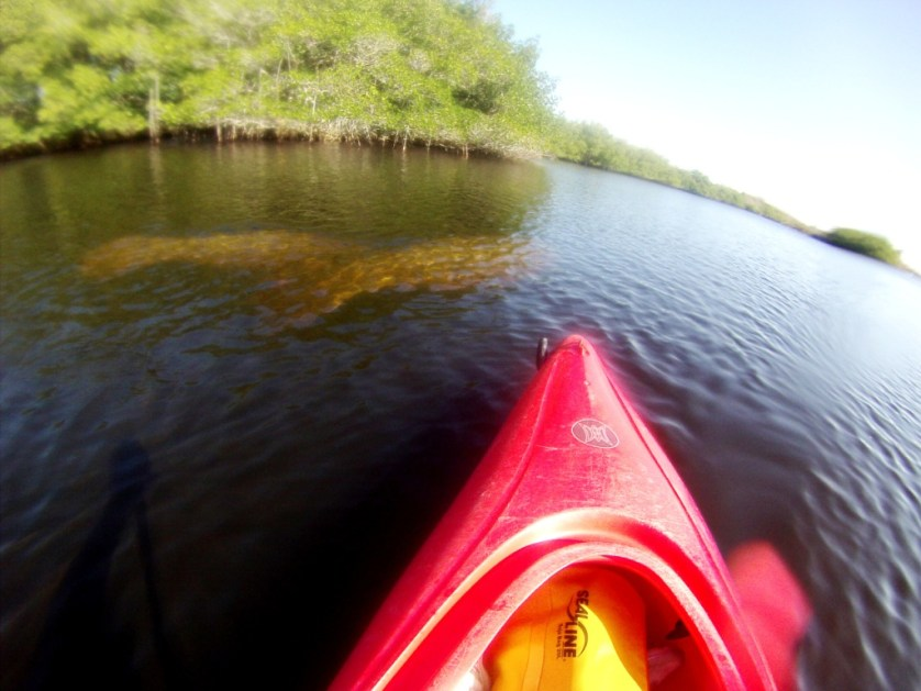 Manatees About to Surface by My Kayak in the Orange River, Manatee Park, Fort Myers, Fla., Feb. 22, 2015