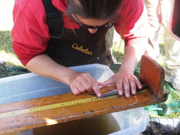 FWC Biologist Jamie Darrow Measures a Juvenile Tarpon During a Monitoring Session at Wildflower Preserve in Englewood, Fla., Feb. 20, 2016