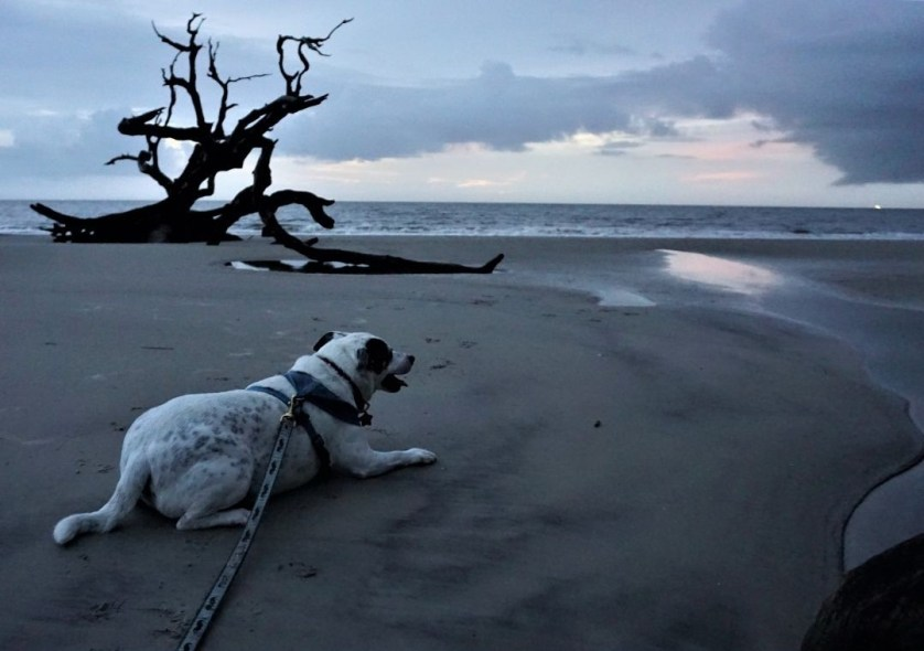 Driftwood Beach on Jekyll Island is a Dog-Friendly Place to Watch the Sunrise. Oct. 2020