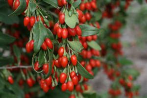 lycium_sweet_lifeberry_goji_berry-from-Proven-Winners