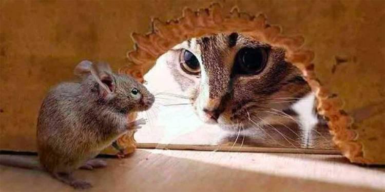 bahaya tikus untuk kesehatan