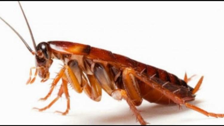 5 bahaya kecoa bagi tubuh manusia