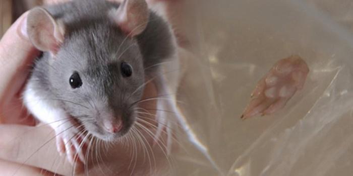 cara jitu basmi tikus