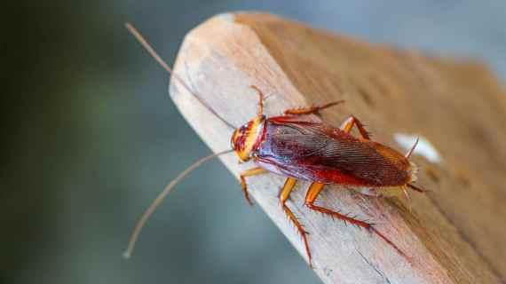 Bahaya Membunuh Kecoa tanpa obat