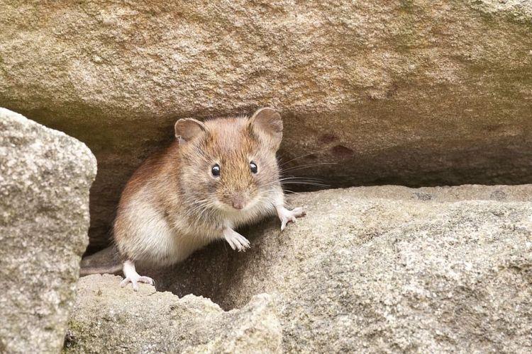Fakta Menarik Tikus yang Wajib di Ketahui
