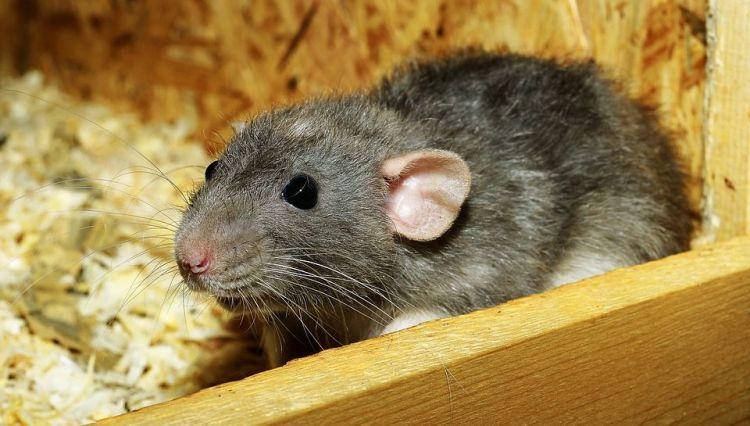 Fakta menarik tentang tikus part II