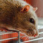 Jenis Tanaman yang Bisa Mengusir Tikus